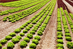 Rows of Lettuce green and red. In the summer on the field Royalty Free Stock Image
