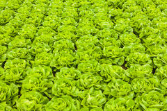 Rows of lettuce in a greenhouse Royalty Free Stock Photos