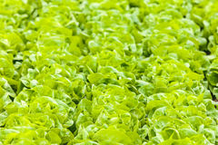 Rows of lettuce in a greenhouse Royalty Free Stock Image
