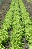 Rows of Lettuce. Grow from the ground during the spring Stock Photos