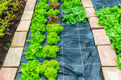 Rows of lettuce growing on an allotment garden Stock Photography