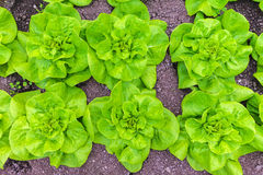 Rows of lettuce growing on an allotment garden Stock Photo