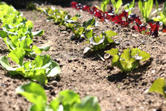 Rows of Lettuce Growing on Farm Royalty Free Stock Images