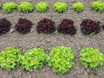 Rows of lettuce growing on a farm. Horizontal rows of green and red lettuce growing on a farm Stock Photos