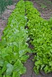 Rows of lettuce growing in garden. At spring Royalty Free Stock Image