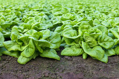 Rows of lettuce growing inside a greenhouse Stock Image