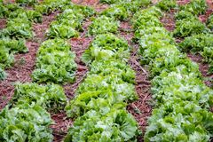 Rows of lettuce growing outdoors stock images