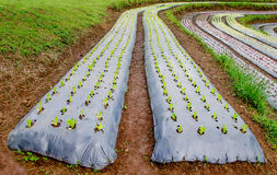 Rows of lettuce plants. Growing on farm Royalty Free Stock Photography