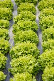 Rows of lettuce with plastic mulch as protection. Rows of lettuce heads growing on farmland with plastic mulch as protection against drought. Agriculture Royalty Free Stock Photos