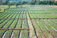 Rows of lettuce seedlings. In the north of Thailand Stock Photography