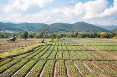 Rows of lettuce seedlings. In the north of Thailand Royalty Free Stock Images
