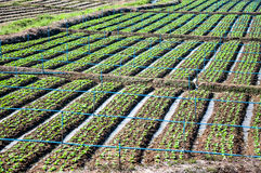 Rows of lettuce seedlings. In the north of Thailand Stock Photo