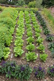 Rows of Lettuce. Three Rows of Lettuce with Flower Companion Planting Royalty Free Stock Photo