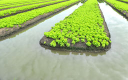 Rows of Lettuce Stock Photography