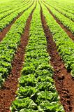 Rows of Lettuces Stock Images