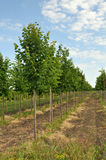 Rows of Linden-tree Royalty Free Stock Images