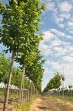 Rows of Linden-tree Stock Photo