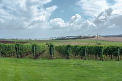 Ghost Rock Vineyard in New Zealand. Rows of lush green grape vines in a Tasmanian vineyard royalty free stock photography