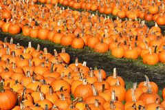 Rows of pumpkins Stock Image