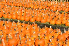 Rows of pumpkins Royalty Free Stock Images