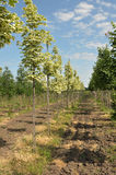 Rows of maple Royalty Free Stock Photos
