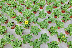 Rows of marigolds growing in a greenhouse Royalty Free Stock Photography