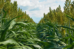 Rows of Milo (Sorghum) Royalty Free Stock Photos
