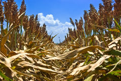 Rows of Milo (Sorghum). Rows of milo or sorghum ready to be harvested royalty free stock photo