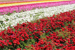 Rows of multi colored flowers in a field in the Keukenhof Royalty Free Stock Photography