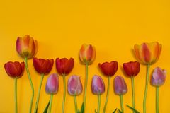 Rows of multi colored tulips on bright yellow background. Beautiful spring floral mock up. Greeting card for women`s or mother`s. Day. Flat lay, top view, copy royalty free stock photography