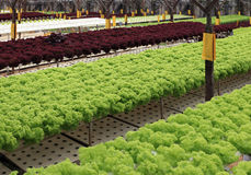 Rows of multicolor lettuce in greenhouse Stock Image