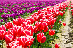 Rows of multicolored tulips on a field Royalty Free Stock Image