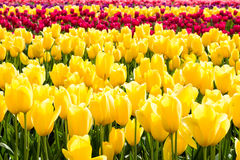 Rows of multicolored tulips on a field Stock Images