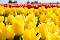 Rows of multicolored tulips on a field Stock Photography