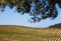 Rows of Napa vineyard on a sunny day with tree leaves in silhouette Stock Photo