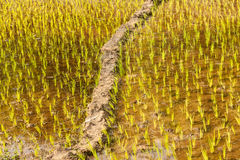 Rows with new rice stems growing up at farm in Asia Royalty Free Stock Images