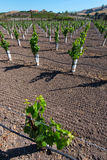 Rows of new vines grow in vineyard Royalty Free Stock Photo