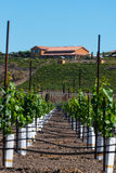Rows of new vines grow in vineyard Royalty Free Stock Photography
