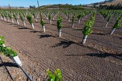 Rows of new vines grow in vineyard Stock Image