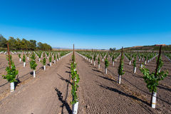 Rows of new vines grow in vineyard Stock Photo