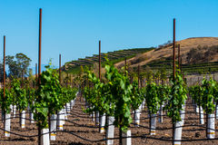 Rows of new vines grow in vineyard Royalty Free Stock Photos
