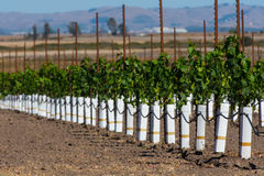 Rows of new vines grow in vineyard Stock Photography