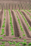 Rows of newly emerging potatoes Royalty Free Stock Image