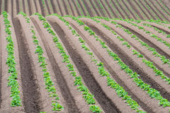 Rows of newly emerging potatoes Royalty Free Stock Photo