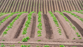 Rows of newly emerging potatoes Stock Photos