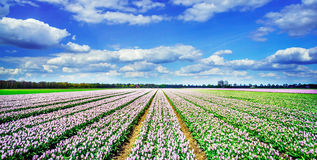 Rows of nice  purple tulips in the field. Netherlands. Stock Photography