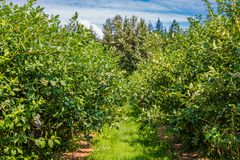 Free Rows Of Blueberry Bushes Royalty Free Stock Photos - 159827158