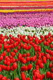 Rows Of Colorful Spring Tulips Stock Image