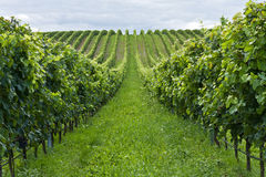 Rows Of Grapes Stock Photo