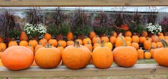 Rows Of Pumpkins And Hardy Mums Stock Photos